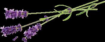 Lavender_flower.png